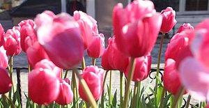 Amasra Çiçek Açtı