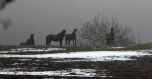 Yılkı atlarına yem bırakıldı