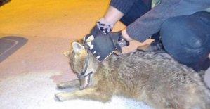 Yürüyemeyen tilkiye hastanede tedavi