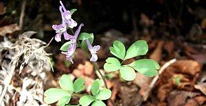 Bartın'da Yeni Bir Endemik Bitki Türü Daha