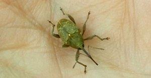 Fındık Üreticileri Bu Böceğe Dikkat !