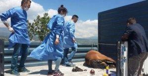 Yaralı yılkı atı tedavi edilecek