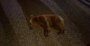 Otomobilin çarptığı yavru ayı doğaya salındı