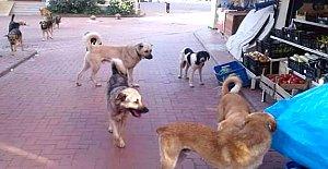 Sokak köpekleri Turistleri Korkutuyor