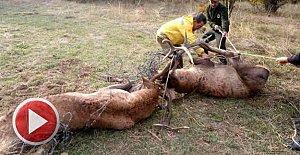 Tel örgüye takılan 2 geyikten 1'i telef oldu
