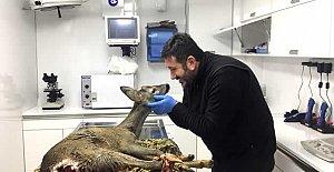 Köpeklerin saldırısına uğrayan karaca, tedavi edildi