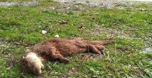 Nesli tehlike altındaki hayvan ölü bulundu