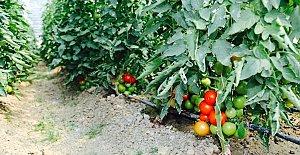 Mahkumlar domates-biber yetiştiriyor