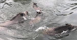 Irmakta Yüzen Domuzlar Şaşırttı