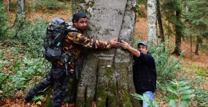 İşte Küre Dağlarının En Yaşlı Ağacı