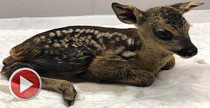 Yaralı yavru karacaya tedavi