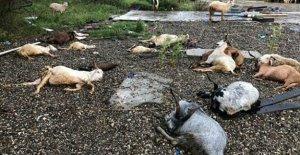Yıldırm isabet eden koyun ve keçiler öldü
