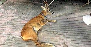 Köpeklerden Kaçarken Tellere Takıldı