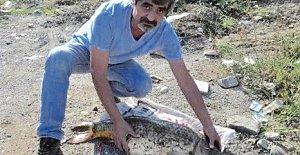 Bartın Irmağı'nda 16 kiloluk sazan