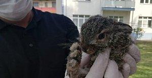 Öksüz yavru tavşan, keçi sütüyle beslendi
