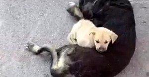 Yaralanan annesinin yanından ayrılmadı