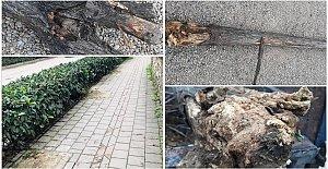 Amasra'da Ağaçların Kesilme Gerekçesi Açıklandı