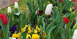 63 Bin Lale, 2 Hafa Gecikmeyle Çiçek Açtı