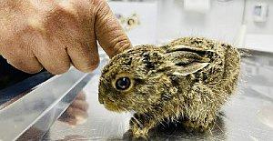 Ayağı Kırılan Yavru Tavşana Vatandaşlar Sahip Çıktı