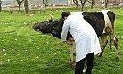 Bartın'da Hayvan Aşılama Çalışmaları Başladı