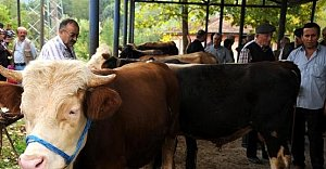 İşte Bartın'daki Sığır Sayısı