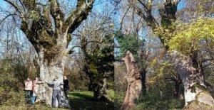 Köylülerden ağaç kesimine tepki