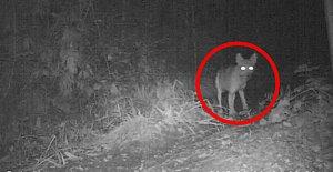 Milli Parkta ilk kez kurt görüntülendi