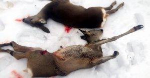 Karaca vuran 2 avcıya gözaltı