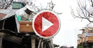 Arıcı köylülerin ayılarla mücadelesi