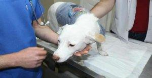 Havuçla işkence yapılan köpek telef oldu