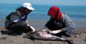 Sahilde Çöp Toplayan Öğrenciler Yunus Leşi Buldu