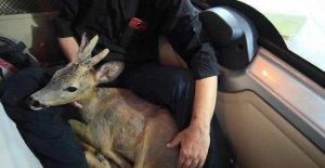 Fotoğrafçıların bulduğu yaralı karaca tedavi edildi