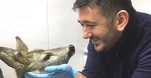 Köpeklerin saldırdığı karaca tedavi edildi
