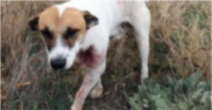Tavuğunu yiyen sokak köpeğini yaraladı