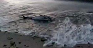Çakraz'da ölü yunus sahile vurdu