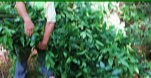 Defne Yaprağı Toplayanlara 12 Bin 600 TL Ceza