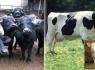 Anaç sığır, buzağı ve anaç manda destekleme listeleri