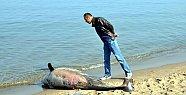 Gemi Pervanesine Çarpan Yunus Kıyıya Vurdu