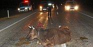 Yola Çıkan Hayvan Zincirleme Kazaya Neden