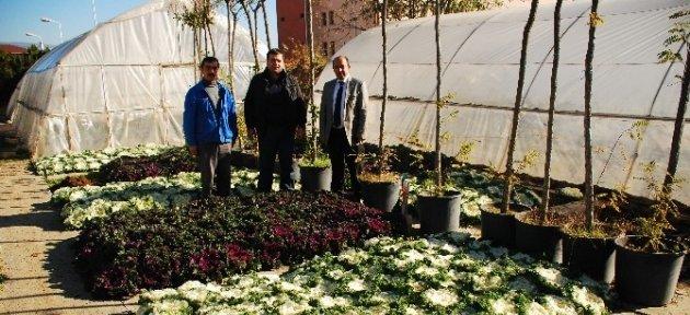 Tosya'da 15 Bin Kök Süs Bitkisi Dikildi
