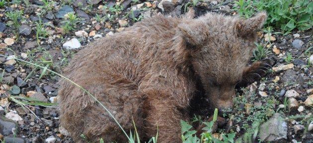 Yaralı ayı yavrusu bulundu