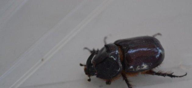 Zonguldak'ta Gergedan Böceği Bulundu