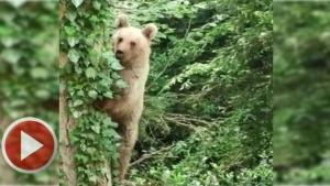 Ağaca tırmanan yavru ayı görüntülendi