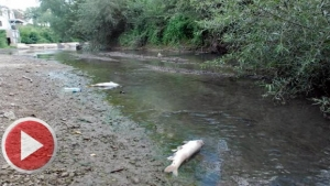 Bartın Irmağındaki balık ölümleri