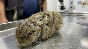 Bartın'da Yaralı yavru tavşana vatandaşlar sahip çıktı