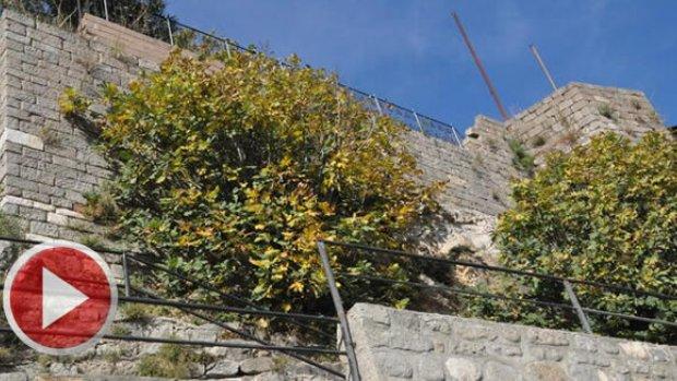Amasra Kalesini tehdit eden ağaçların kökü kurutuluyor