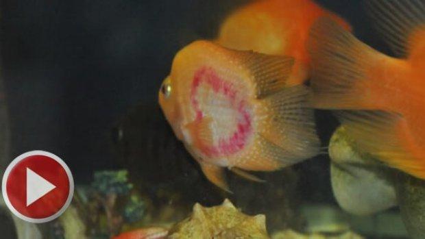 Bu balığın 3 kalbi var
